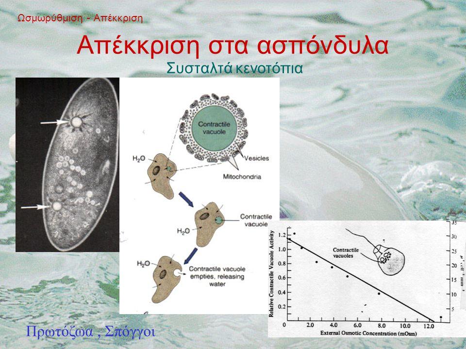 Απέκκριση στα ασπόνδυλα Ωσμωρύθμιση - Απέκκριση Συσταλτά κενοτόπια Πρωτόζωα, Σπόγγοι