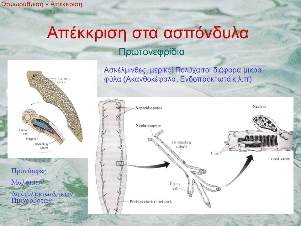 Απέκκριση στα ασπόνδυλα Ωσμωρύθμιση - Απέκκριση Πρωτονεφρίδια Ασκέλμινθες, μερικοί Πολύχαιτοι διάφορα μικρά φύλα ( Ακανθοκέφαλα, Ενδοπροκτωτά κ.