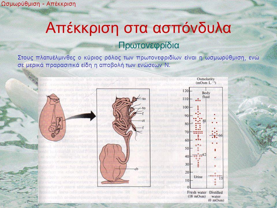 Απέκκριση στα ασπόνδυλα Πρωτονεφρίδια Ωσμωρύθμιση - Απέκκριση Στους πλατυέλμινθες ο κύριος ρόλος των πρωτονεφριδίων είναι η ωσμωρύθμιση, ενώ σε μερικά πραρασιτικά είδη η αποβολή των ενώσεων Ν.