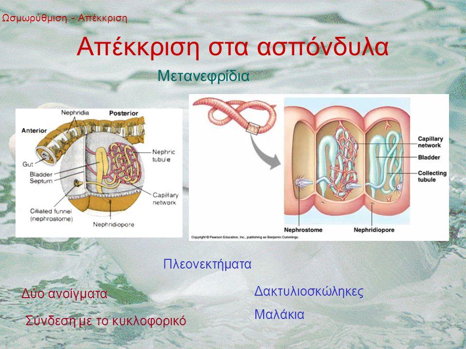 Απέκκριση στα ασπόνδυλα Ωσμωρύθμιση - Απέκκριση Μετανεφρίδια Πλεονεκτήματα Δύο ανοίγματα Σύνδεση με το κυκλοφορικό Δακτυλιοσκώληκες Μαλάκια