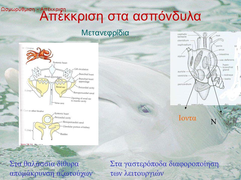 Ωσμωρύθμιση - Απέκκριση Απέκκριση στα ασπόνδυλα Μετανεφρίδια Στα θαλάσσια δίθυρα απομάκρυνση αζωτούχων Στα γαστερόποδα διαφοροποίηση των λειτουργιών Ιοντα Ν