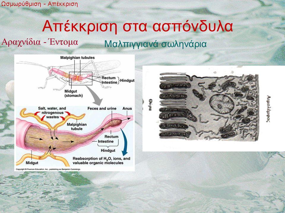 Απέκκριση στα ασπόνδυλα Ωσμωρύθμιση - Απέκκριση Μαλπιγγιανά σωληνάρια Αραχνίδια - Έντομα