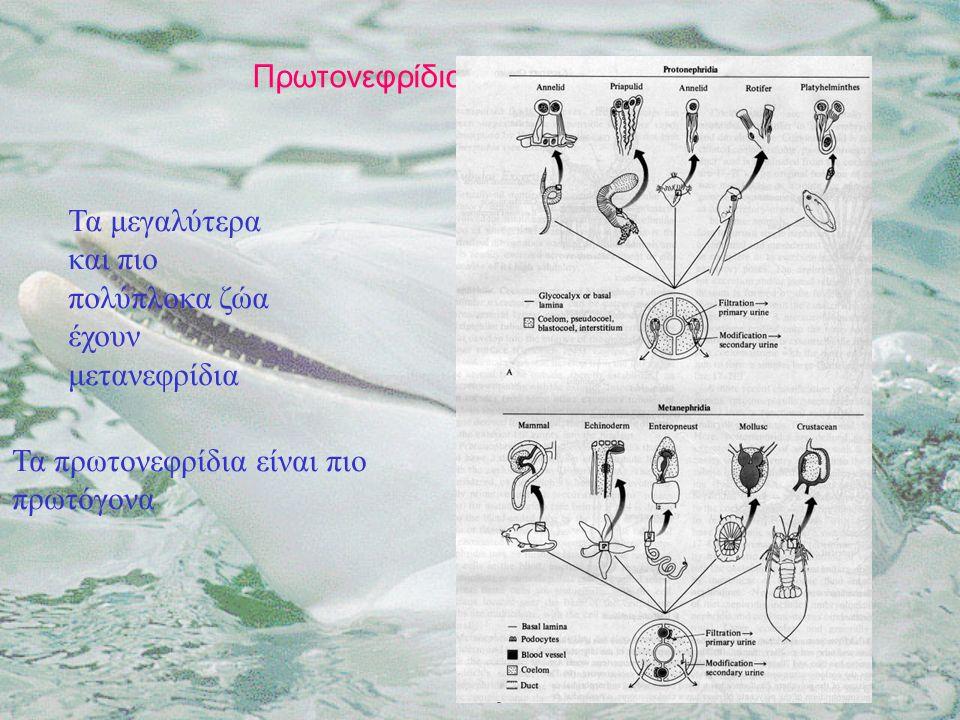Πρωτονεφρίδια - Μετανεφρίδια Τα μεγαλύτερα και πιο πολύπλοκα ζώα έχουν μετανεφρίδια Τα πρωτονεφρίδια είναι πιο πρωτόγονα