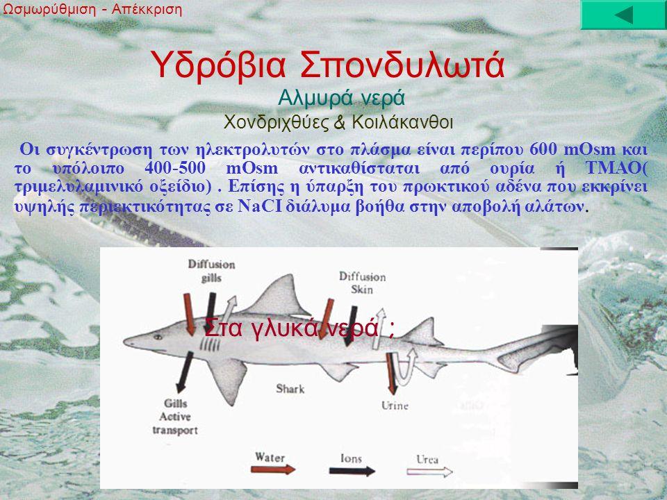 Υδρόβια Σπονδυλωτά Αλμυρά νερά Ωσμωρύθμιση - Απέκκριση Χονδριχθύες & Κοιλάκανθοι Οι συγκέντρωση των ηλεκτρολυτών στο πλάσμα είναι περίπου 600 mOsm και το υπόλοιπο 400-500 mOsm αντικαθίσταται από ουρία ή ΤΜΑΟ( τριμελυλαμινικό οξείδιο).