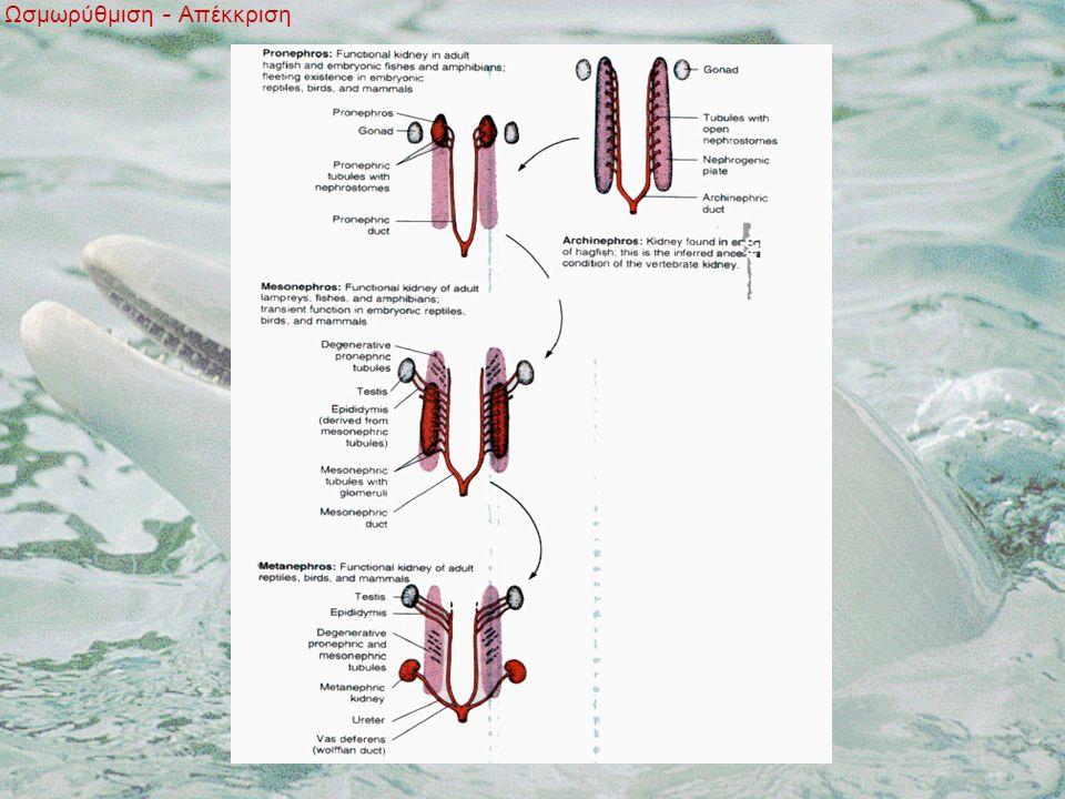 Ωσμωρύθμιση - Απέκκριση Εξέλιξη του νεφρού