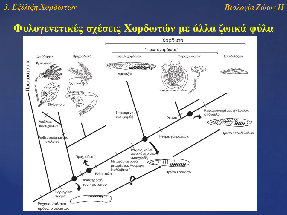 Βιολογία Ζώων ΙΙ 3. Εξέλιξη Χορδωτών Φυλογενετικές σχέσεις Χορδωτών με άλλα ζωικά φύλα