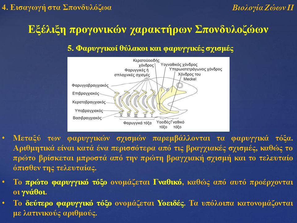 Εξέλιξη προγονικών χαρακτήρων Σπονδυλοζώων 5.
