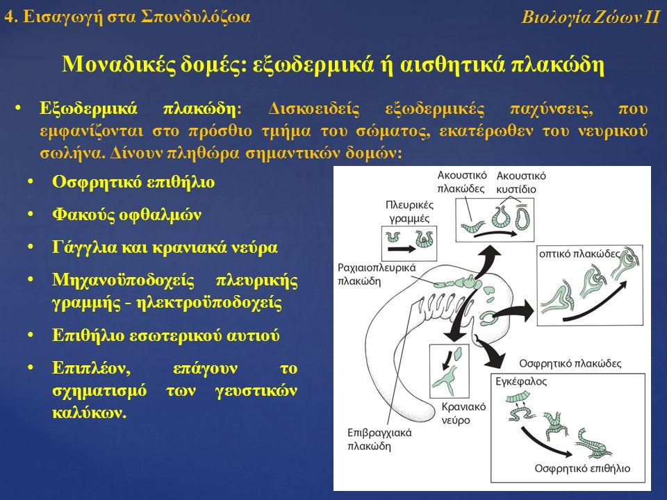 Μοναδικές δομές: εξωδερμικά ή αισθητικά πλακώδη Εξωδερμικά πλακώδη: Δισκοειδείς εξωδερμικές παχύνσεις, που εμφανίζονται στο πρόσθιο τμήμα του σώματος, εκατέρωθεν του νευρικού σωλήνα.
