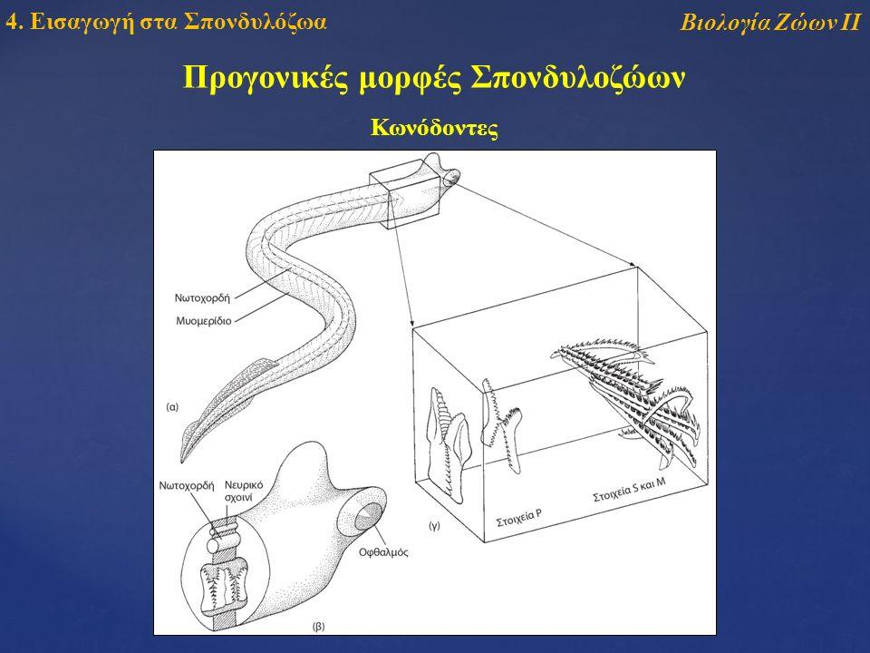 Βιολογία Ζώων ΙΙ 4. Εισαγωγή στα Σπονδυλόζωα Κωνόδοντες Προγονικές μορφές Σπονδυλοζώων