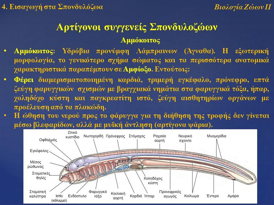 Αρτίγονοι συγγενείς Σπονδυλοζώων Βιολογία Ζώων ΙΙ 4.