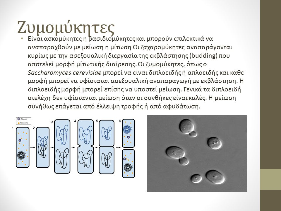 Ζυμομύκητες Είναι ασκομύκητες η βασιδιομύκητες και μπορούν επιλεκτικά να αναπαραχθούν με μείωση η μίτωση Οι ζαχαρομύκητες αναπαράγονται κυρίως με την