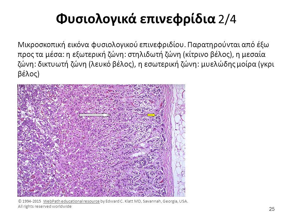 Φυσιολογικά επινεφρίδια 2/4 Μικροσκοπική εικόνα φυσιολογικού επινεφριδίου. Παρατηρούνται από έξω προς τα μέσα: η εξωτερική ζώνη: στηλιδωτή ζώνη (κίτρι