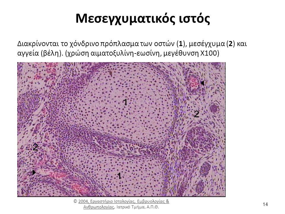 Μεσεγχυματικός ιστός Διακρίνονται το χόνδρινο πρόπλασμα των οστών (1), μεσέγχυμα (2) και αγγεία (βέλη).
