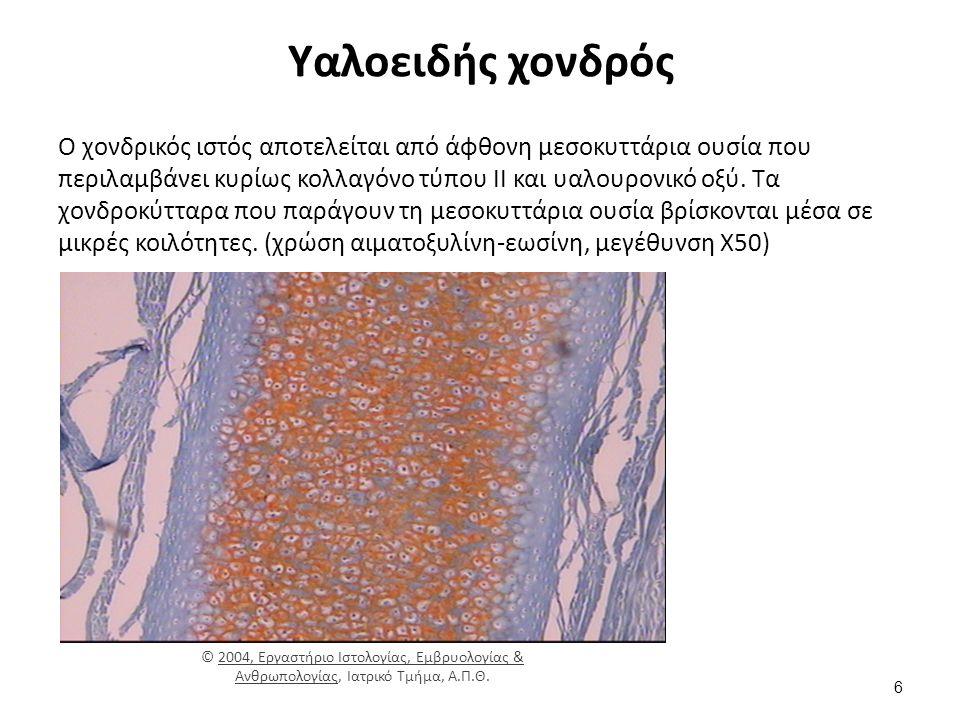 Υαλοειδής χονδρός Ο χονδρικός ιστός αποτελείται από άφθονη μεσοκυττάρια ουσία που περιλαμβάνει κυρίως κολλαγόνο τύπου ΙΙ και υαλουρονικό οξύ.