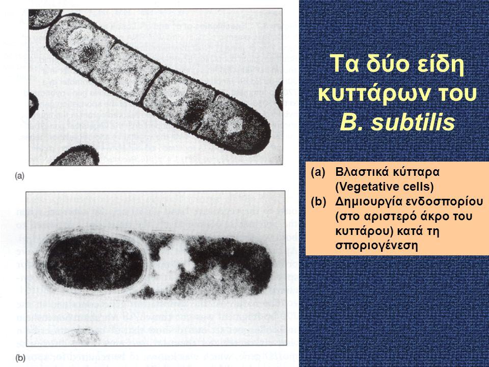 Τα δύο είδη κυττάρων του B. subtilis (a)Βλαστικά κύτταρα (Vegetative cells) (b)Δημιουργία ενδοσπορίου (στο αριστερό άκρο του κυττάρου) κατά τη σποριογ
