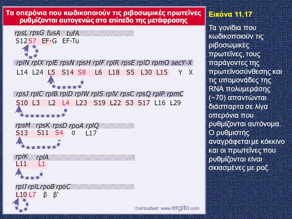Εικόνα 11.17 Τα γονίδια που κωδικοποιούν τις ριβοσωμικές πρωτεΐνες, τους παράγοντες της πρωτεϊνοσύνθεσης και τις υπομονάδες της RNA πολυμεράσης (~70)