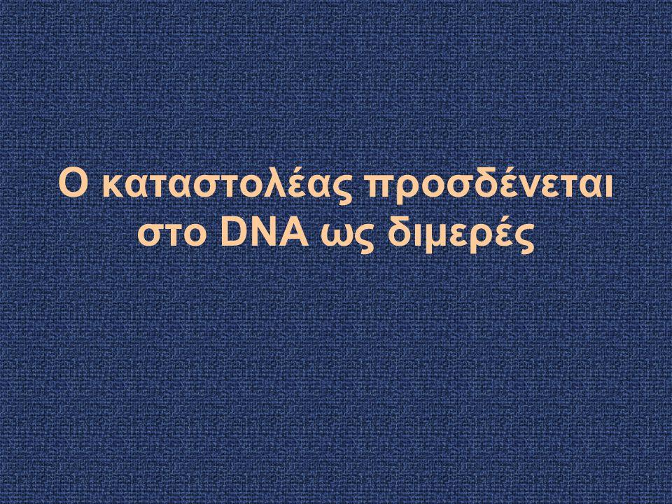 Ο καταστολέας προσδένεται στο DNA ως διμερές