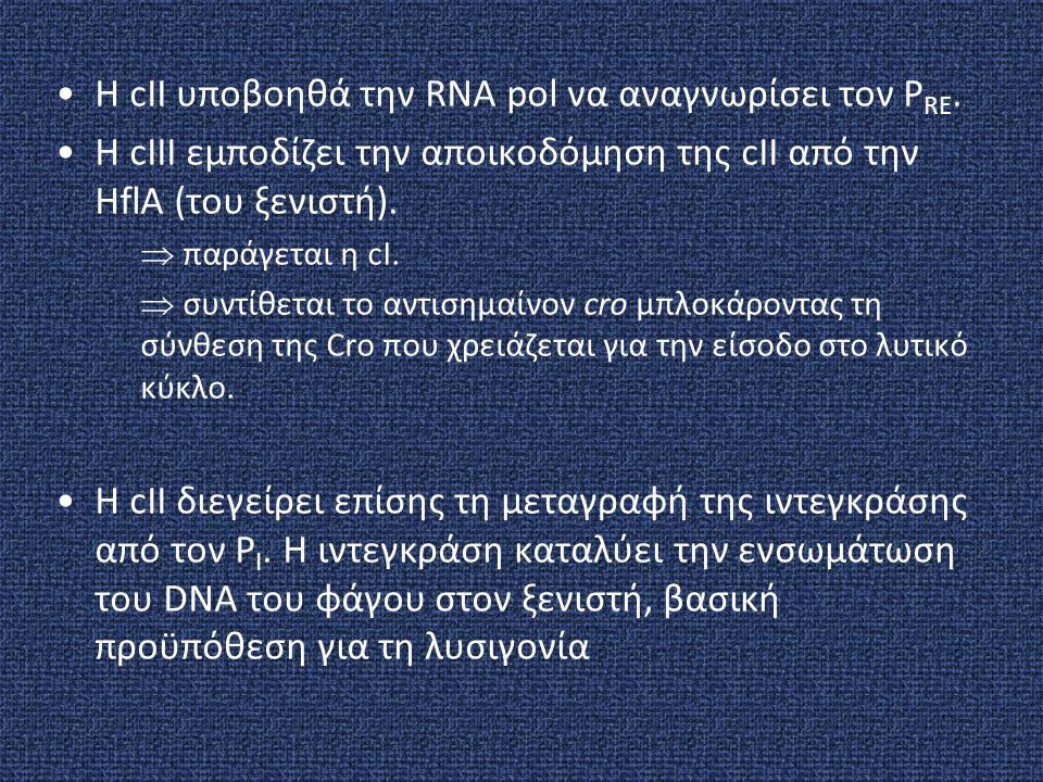 H cII υποβοηθά την RNA pol να αναγνωρίσει τον P RE. H cIII εμποδίζει την αποικοδόμηση της cII από την HflA (του ξενιστή).  παράγεται η cI.  συντίθετ
