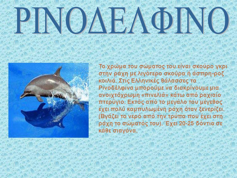 Το χρώμα του σώματος του είναι σκούρο γκρι στην ράχη με λιγότερο σκούρα ή άσπρη-ροζ κοιλιά. Στις Ελληνικές θάλασσες τα Ρινοδέλφινα μπορούμε να διακρίν
