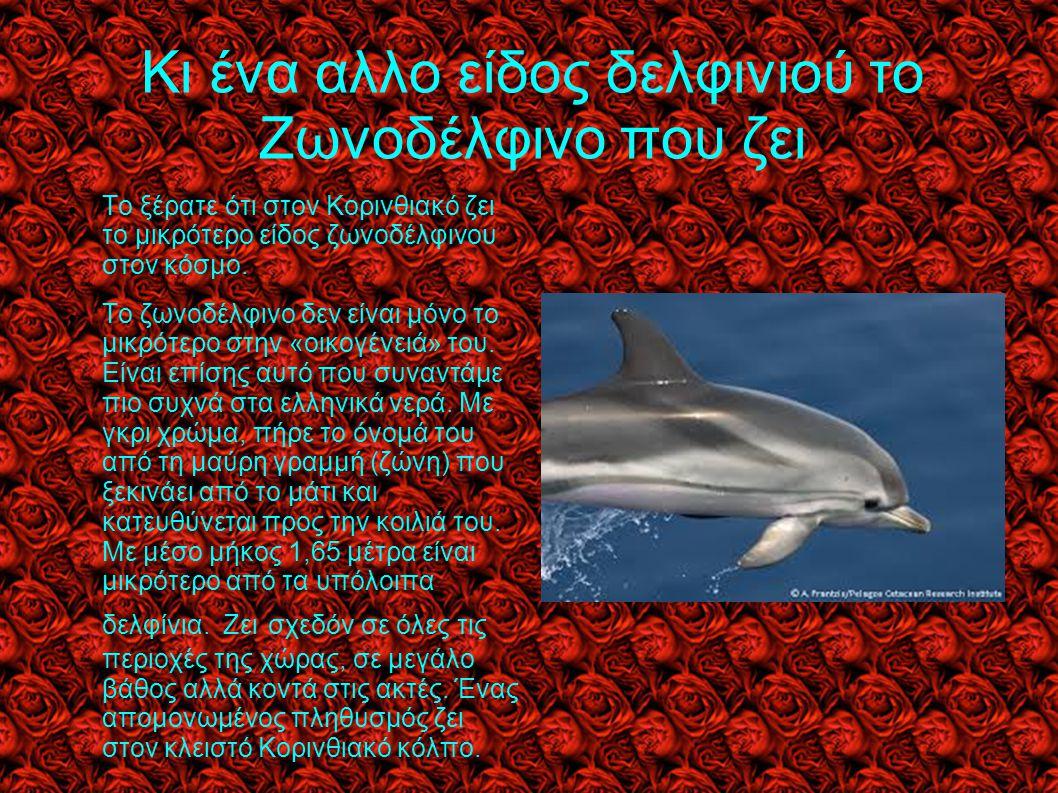 Κι ένα αλλο είδος δελφινιού το Ζωνοδέλφινο που ζει Το ξέρατε ότι στον Κορινθιακό ζει το μικρότερο είδος ζωνοδέλφινου στον κόσμο. Το ζωνοδέλφινο δεν εί
