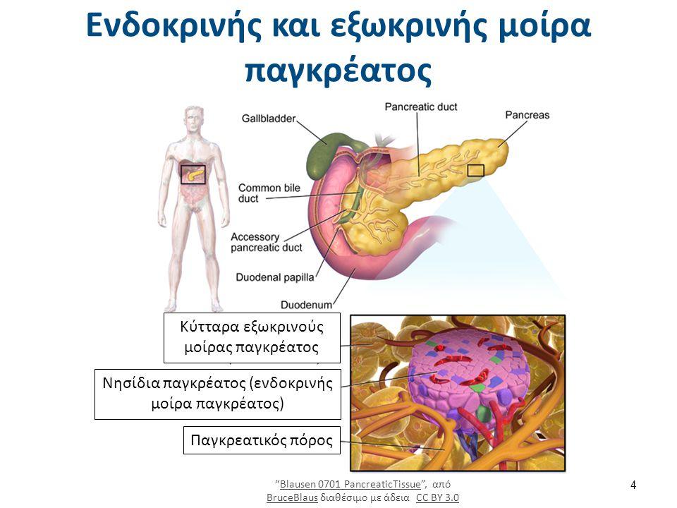 Ενδοκρινής και εξωκρινής μοίρα παγκρέατος 4 Κύτταρα εξωκρινούς μοίρας παγκρέατος Νησίδια παγκρέατος (ενδοκρινής μοίρα παγκρέατος) Παγκρεατικός πόρος Blausen 0701 PancreaticTissue , από BruceBlaus διαθέσιμο με άδεια CC BY 3.0Blausen 0701 PancreaticTissue BruceBlausCC BY 3.0