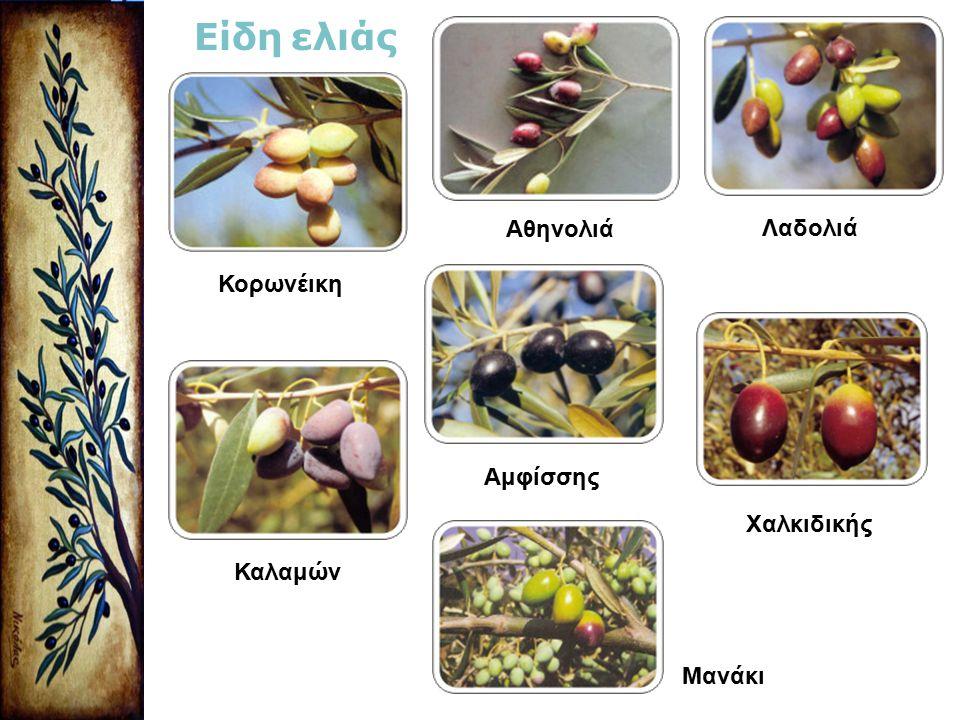 Κορωνέικη Είδη ελιάς Αθηνολιά Λαδολιά Καλαμών Αμφίσσης Χαλκιδικής Μανάκι