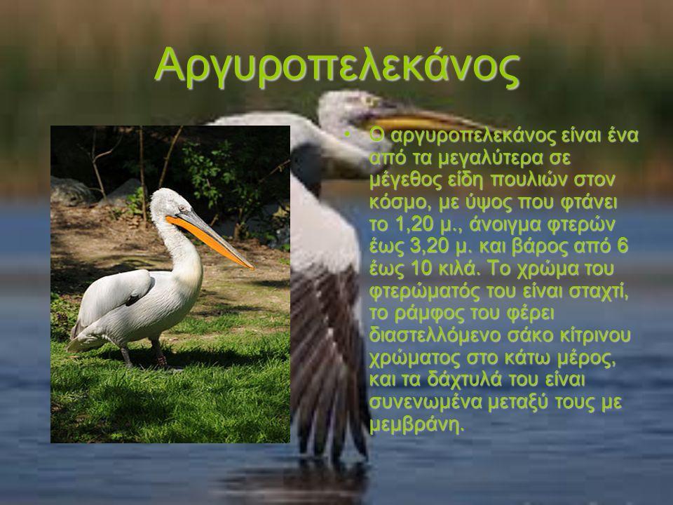 Αργυροπελεκάνος Ο αργυροπελεκάνος είναι ένα από τα μεγαλύτερα σε μέγεθος είδη πουλιών στον κόσμο, με ύψος που φτάνει το 1,20 μ., άνοιγμα φτερών έως 3,20 μ.