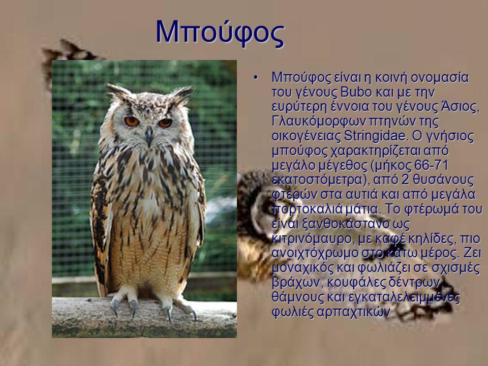 Μπούφος Μπούφος είναι η κοινή ονομασία του γένους Bubo και με την ευρύτερη έννοια του γένους Άσιος, Γλαυκόμορφων πτηνών της οικογένειας Stringidae.
