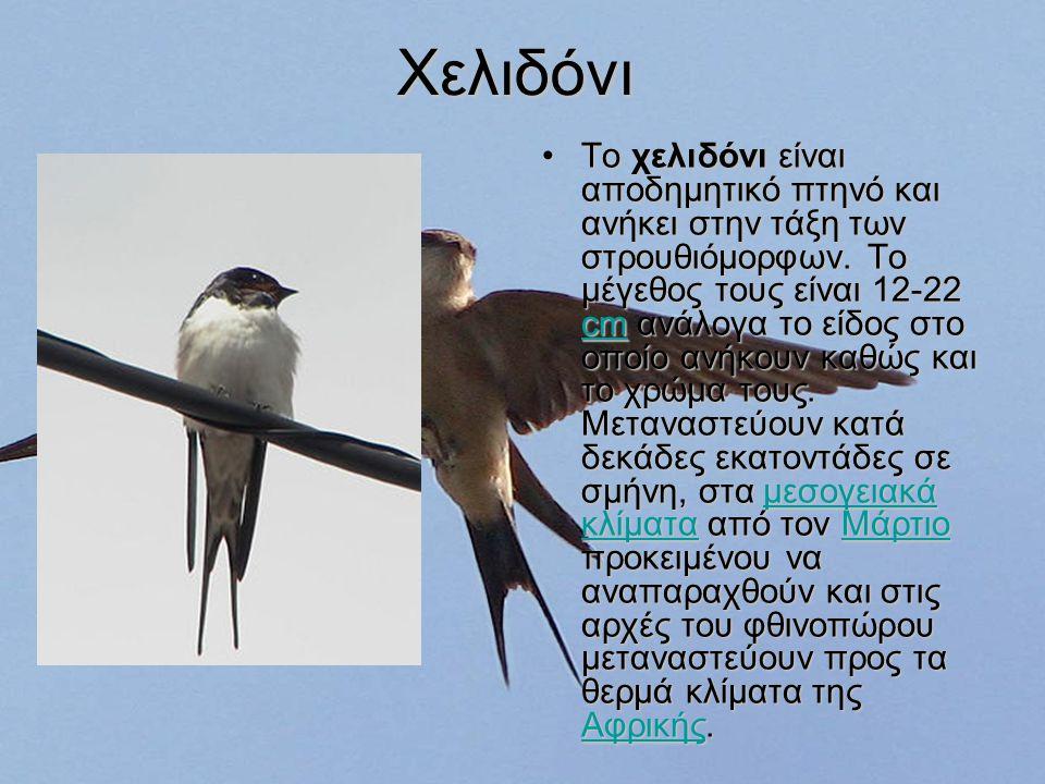 Χελιδόνι Το χελιδόνι είναι αποδημητικό πτηνό και ανήκει στην τάξη των στρουθιόμορφων.