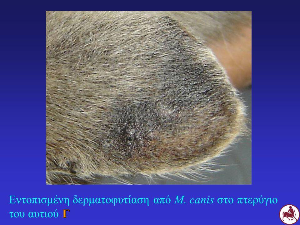 Γ Εντοπισμένη δερματοφυτίαση από M. canis στο πτερύγιο του αυτιού Γ