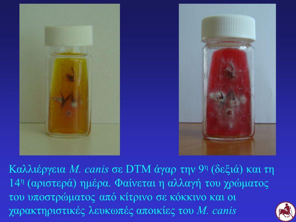 Καλλιέργεια M. canis σε DTM άγαρ την 9 η (δεξιά) και τη 14 η (αριστερά) ημέρα. Φαίνεται η αλλαγή του χρώματος του υποστρώματος από κίτρινο σε κόκκινο