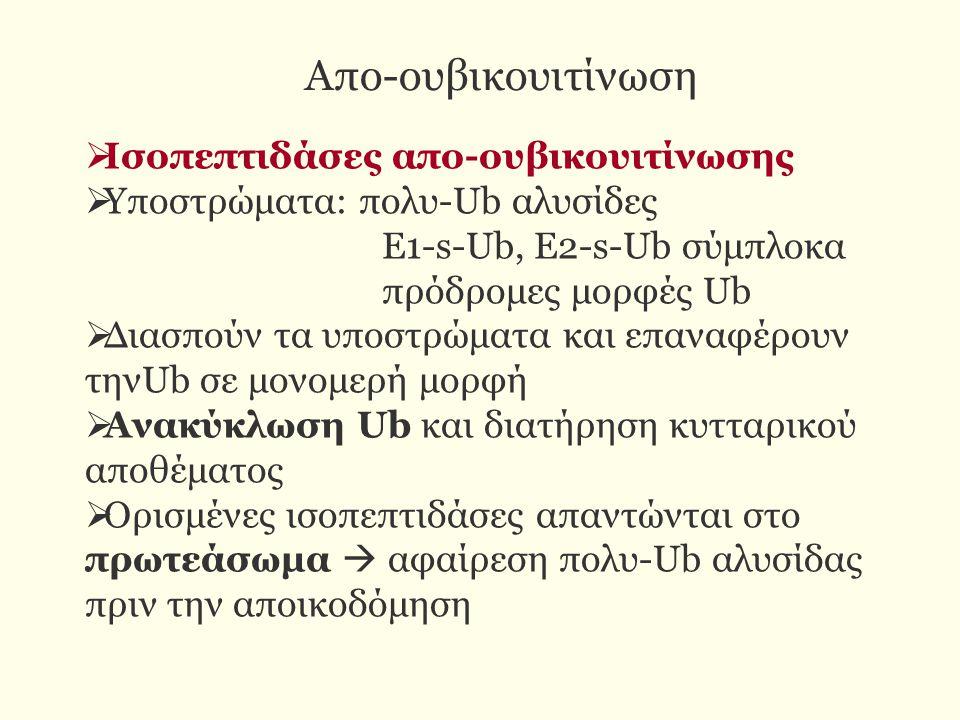 Απο-ουβικουιτίνωση  Ισοπεπτιδάσες απο-ουβικουιτίνωσης  Υποστρώματα: πολυ-Ub αλυσίδες Ε1-s-Ub, E2-s-Ub σύμπλοκα πρόδρομες μορφές Ub  Διασπούν τα υποστρώματα και επαναφέρουν τηνUb σε μονομερή μορφή  Ανακύκλωση Ub και διατήρηση κυτταρικού αποθέματος  Ορισμένες ισοπεπτιδάσες απαντώνται στο πρωτεάσωμα  αφαίρεση πολυ-Ub αλυσίδας πριν την αποικοδόμηση