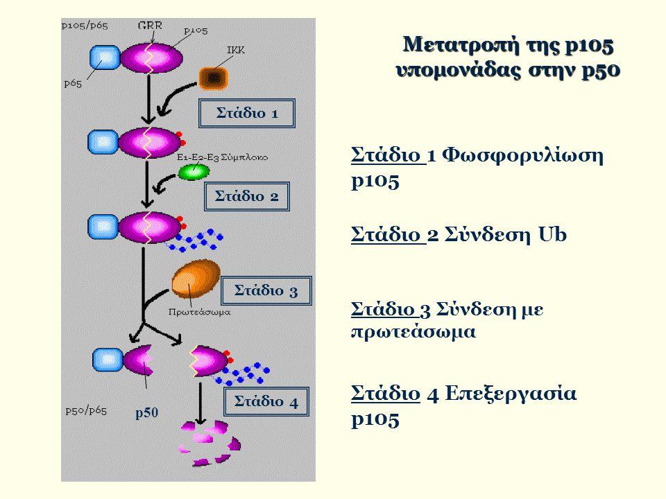 Μετατροπή της p105 υπομονάδας στην p50 Στάδιο 1 Φωσφορυλίωση p105 Στάδιο 2 Σύνδεση Ub Στάδιο 3 Σύνδεση με πρωτεάσωμα Στάδιο 4 Επεξεργασία p105 Στάδιο 1 Στάδιο 2 Στάδιο 3 Στάδιο 4 p50