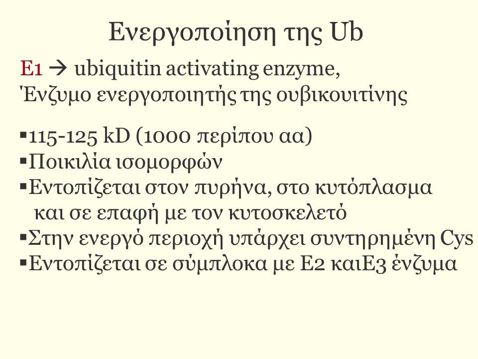 Δράση Ε1 ενζύμου  Υδρολύει ΑΤΡ και σχηματίζει ένα σύμπλοκο Ub-AMP  Δεσμεύει την ουβικουιτίνη στην κυστεϊνη της ενεργού περιοχής με θειολεστερικό δεσμό.