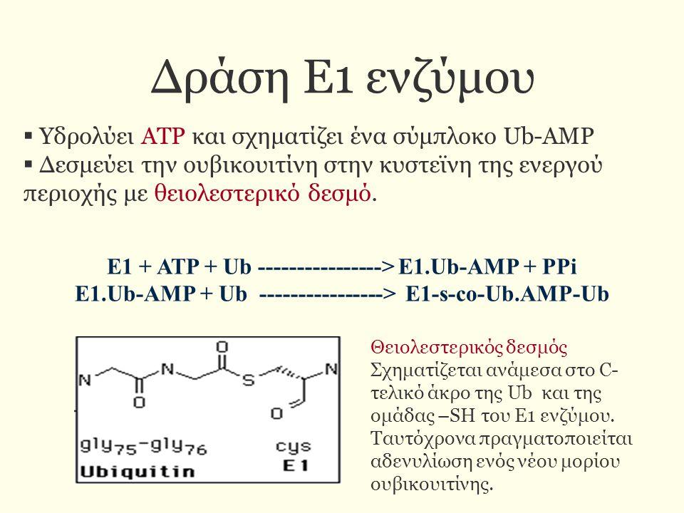 Δράση Ε1 ενζύμου  Υδρολύει ΑΤΡ και σχηματίζει ένα σύμπλοκο Ub-AMP  Δεσμεύει την ουβικουιτίνη στην κυστεϊνη της ενεργού περιοχής με θειολεστερικό δεσ