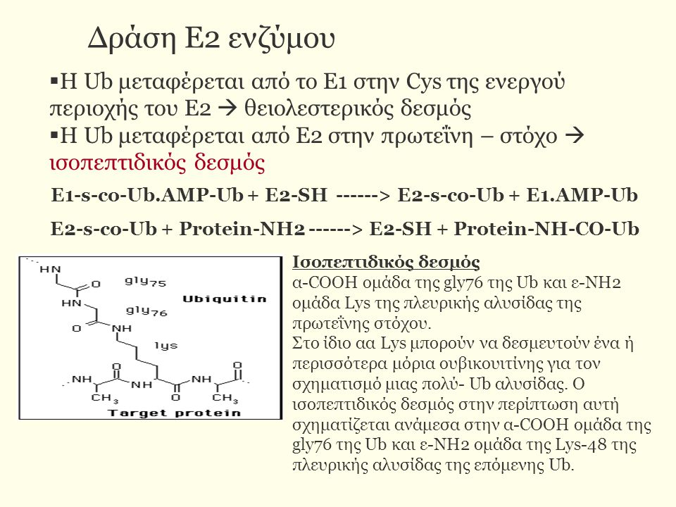 Δράση Ε2 ενζύμου  Η Ub μεταφέρεται από το Ε1 στην Cys της ενεργού περιοχής του Ε2  θειολεστερικός δεσμός  Η Ub μεταφέρεται από Ε2 στην πρωτεΐνη – στόχο  ισοπεπτιδικός δεσμός Ε1-s-co-Ub.AMP-Ub + E2-SH ------> E2-s-co-Ub + E1.AMP-Ub E2-s-co-Ub + Protein-NH2 ------> E2-SH + Protein-NH-CO-Ub Ισοπεπτιδικός δεσμός α-COOH ομάδα της gly76 της Ub και ε-NH2 ομάδα Lys της πλευρικής αλυσίδας της πρωτεΐνης στόχου.
