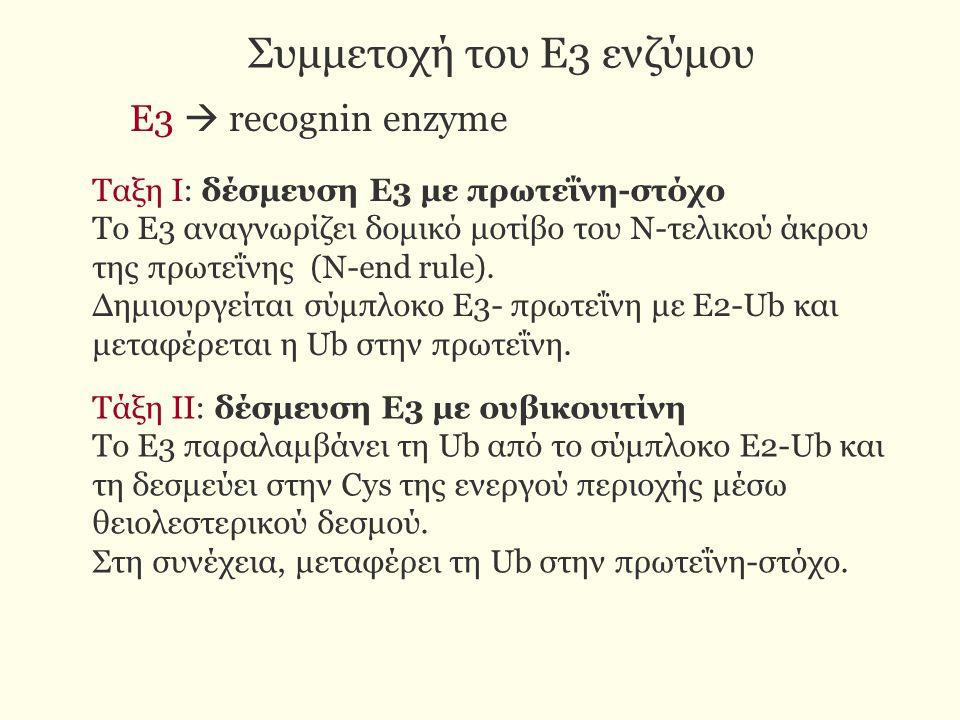 Συμμετοχή του Ε3 ενζύμου Ταξη Ι: δέσμευση Ε3 με πρωτεΐνη-στόχο Το Ε3 αναγνωρίζει δομικό μοτίβο του Ν-τελικού άκρου της πρωτεΐνης (Ν-end rule). Δημιουρ