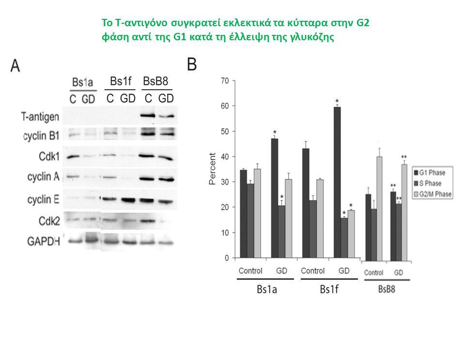 Το Τ-αντιγόνο συγκρατεί εκλεκτικά τα κύτταρα στην G2 φάση αντί της G1 κατά τη έλλειψη της γλυκόζης T-antigen Cyclin B1 Cdk1 Cyclin A Cyclin E Cdk2 GAPDH