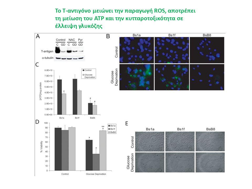 Το Τ-αντιγόνο μειώνει την παραγωγή ROS, αποτρέπει τη μείωση του ATP και την κυτταροτοξικότητα σε έλλειψη γλυκόζης