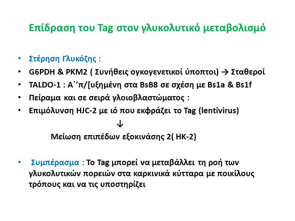 Επίδραση του Tag στον γλυκολυτικό μεταβολισμό Στέρηση Γλυκόζης : G6PDH & PKM2 ( Συνήθεις ογκογενετικοί ύποπτοι) → Σταθεροί TALDO-1 : Α΄'π/[υξημένη στα BsB8 σε σχέση με Bs1a & Bs1f Πείραμα και σε σειρά γλοιοβλαστώματος : Επιμόλυνση HJC-2 με ιό που εκφράζει το Tag (lentivirus) ↓ Μείωση επιπέδων εξοκινάσης 2( HK-2) Συμπέρασμα : Το Tag μπορεί να μεταβάλλει τη ροή των γλυκολυτικών πορειών στα καρκινικά κύτταρα με ποικίλους τρόπους και να τις υποστηρίζει