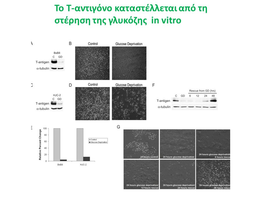 Το Τ-αντιγόνο καταστέλλεται από τη στέρηση της γλυκόζης in vitro