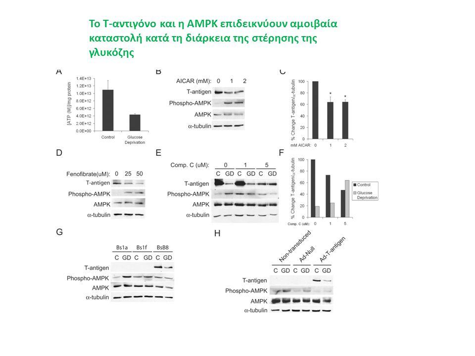 Το Τ-αντιγόνο και η AMPK επιδεικνύουν αμοιβαία καταστολή κατά τη διάρκεια της στέρησης της γλυκόζης