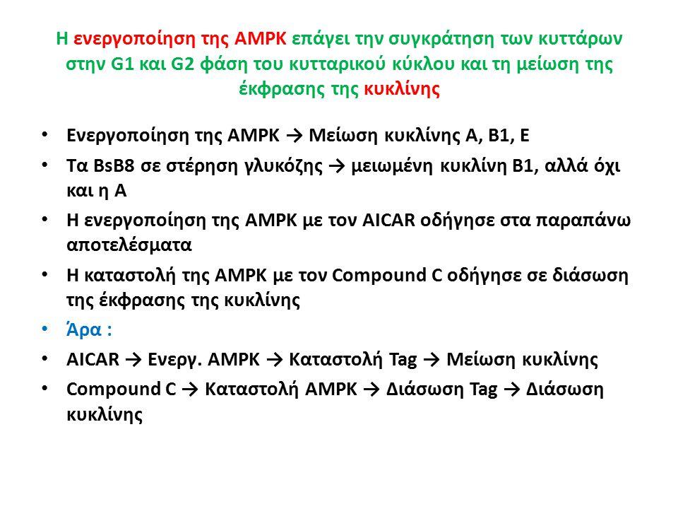 Η ενεργοποίηση της AMPK επάγει την συγκράτηση των κυττάρων στην G1 και G2 φάση του κυτταρικού κύκλου και τη μείωση της έκφρασης της κυκλίνης Ενεργοποίηση της AMPK → Μείωση κυκλίνης Α, Β1, Ε Τα BsB8 σε στέρηση γλυκόζης → μειωμένη κυκλίνη Β1, αλλά όχι και η Α Η ενεργοποίηση της AMPK με τον AICAR οδήγησε στα παραπάνω αποτελέσματα Η καταστολή της AMPK με τον Compound C οδήγησε σε διάσωση της έκφρασης της κυκλίνης Άρα : AICAR → Ενεργ.