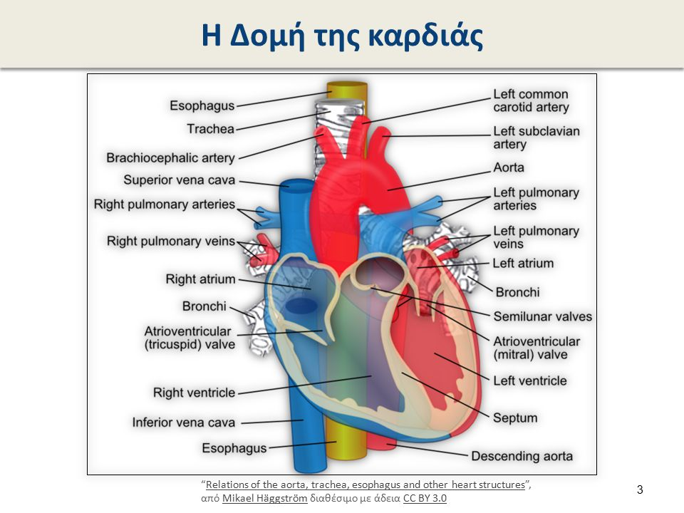 "Η Δομή της καρδιάς ""Relations of the aorta, trachea, esophagus and other heart structures"", από Mikael Häggström διαθέσιμο με άδεια CC BY 3.0Relations"