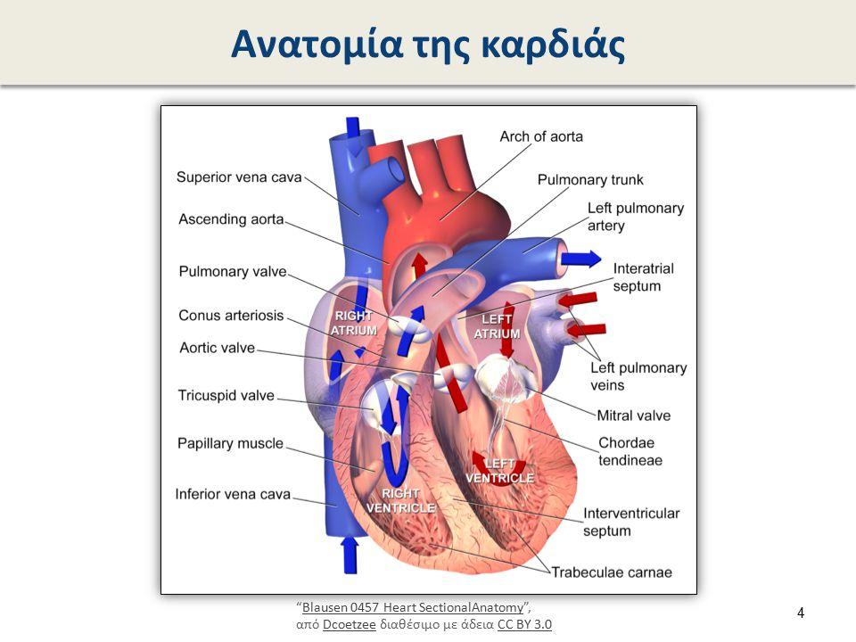 """Ανατομία της καρδιάς """"Blausen 0457 Heart SectionalAnatomy"""", από Dcoetzee διαθέσιμο με άδεια CC BY 3.0Blausen 0457 Heart SectionalAnatomyDcoetzeeCC BY"""