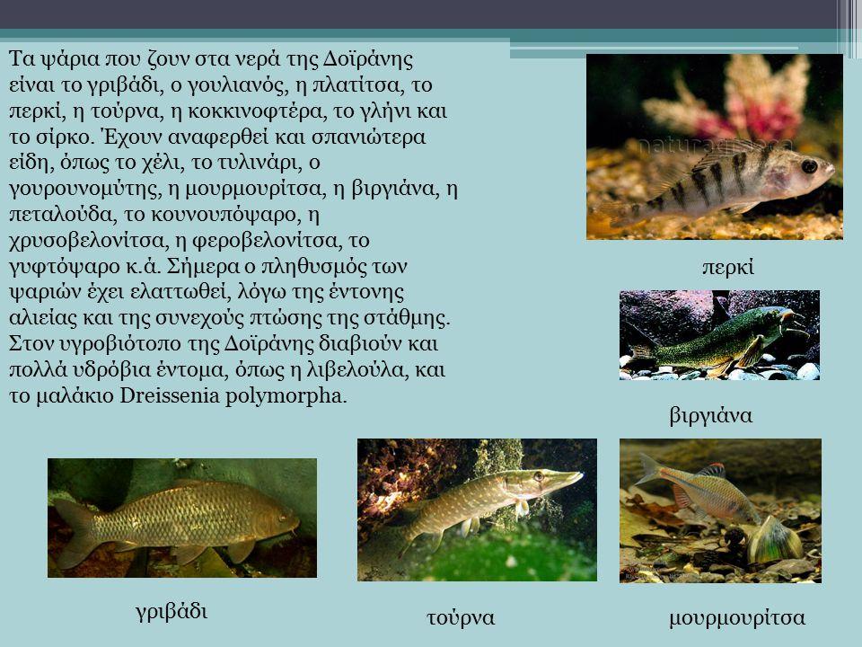 Τα ψάρια που ζουν στα νερά της Δοϊράνης είναι το γριβάδι, ο γουλιανός, η πλατίτσα, το περκί, η τούρνα, η κοκκινοφτέρα, το γλήνι και το σίρκο.