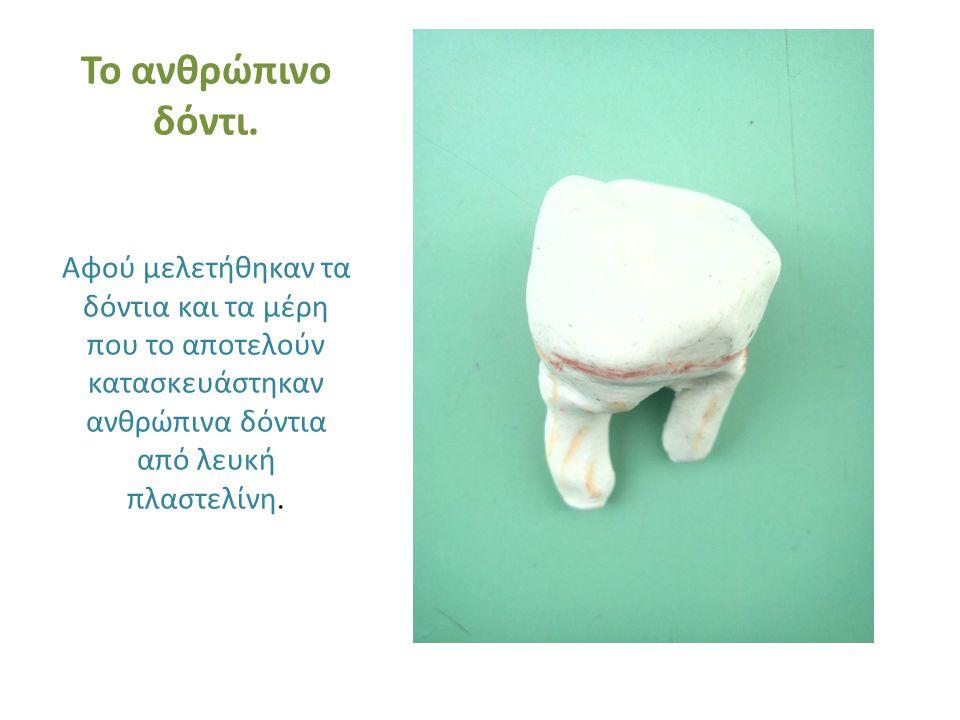 Το ανθρώπινο δόντι. Αφού μελετήθηκαν τα δόντια και τα μέρη που το αποτελούν κατασκευάστηκαν ανθρώπινα δόντια από λευκή πλαστελίνη.