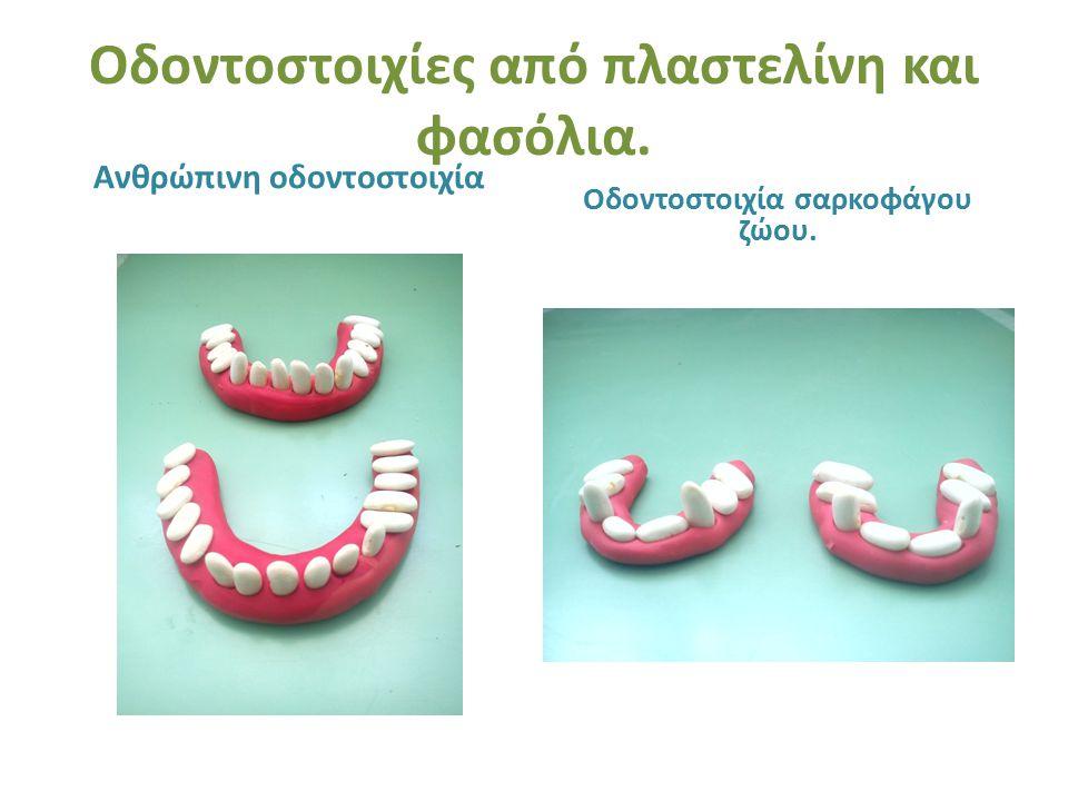 Οδοντοστοιχίες από πλαστελίνη και φασόλια. Ανθρώπινη οδοντοστοιχία Οδοντοστοιχία σαρκοφάγου ζώου.