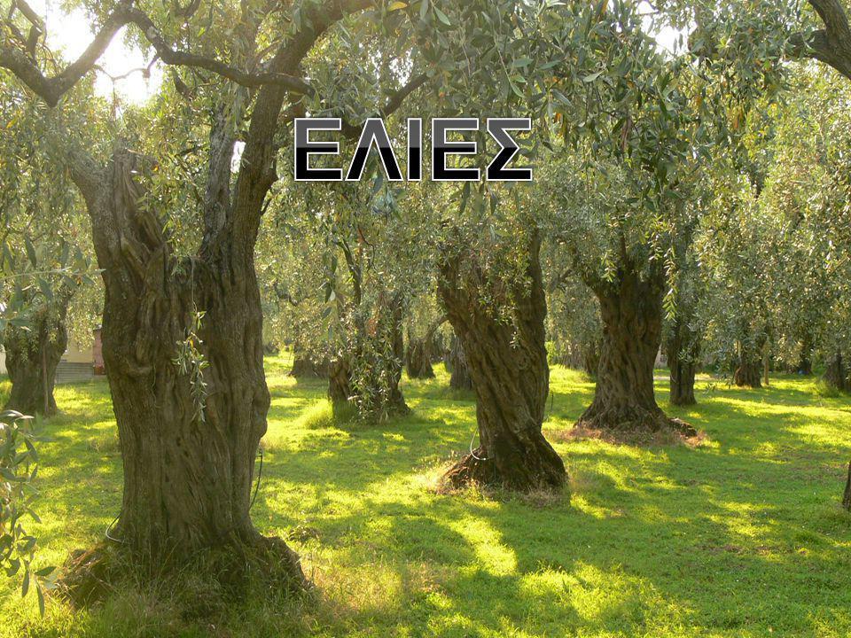 Το μάζεμα των ελιών– La récolte des olives Πότε ξεκινά το μάζεμα; Η Κορωνέικη ποικιλία ξεκινά να μαζεύεται στα μέσα του Νοεμβρίου.