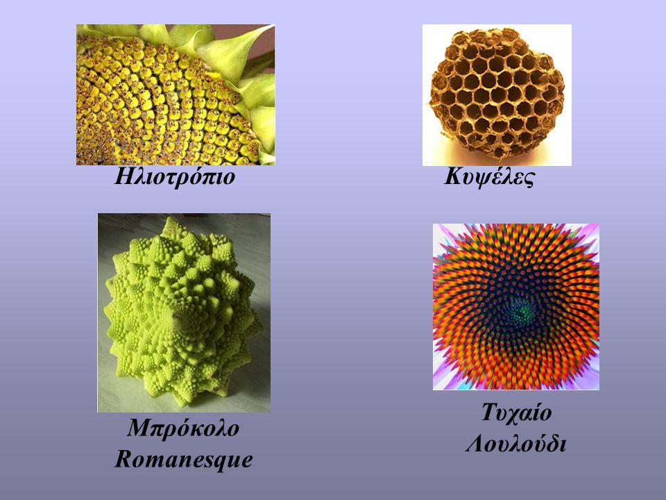 ΗλιοτρόπιοΚυψέλες Μπρόκολο Romanesque Τυχαίο Λουλούδι